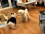 Dance Battle Between Two Dogs