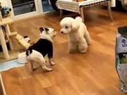 Dance Battle Between Two Dogs
