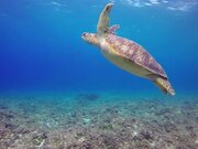 Green Turtle Footage