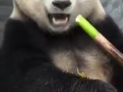 A Panda Snacking On Bamboo
