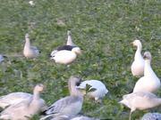 Blue Morph Snow Goose