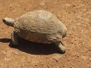 Strolling Turtle