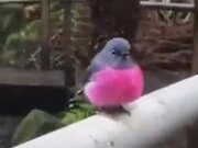 What A Pretty Pink Robin