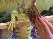 Huge Iguana Loves A Massage