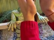Huge Iguana Loves A Massage