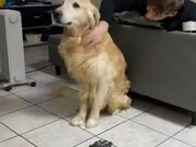 The Golden Retriever Only Wants Pets