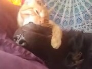 Ferocious Cat Starts Eating Doggo Alive