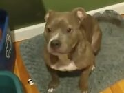 Pitbull So Happy That He Tap Dances