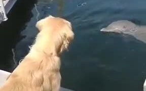 Golden Retriever And Dolphin Meet