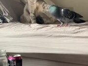 Cat And Pigeon Are The Best Of Friends