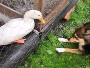 Doggo And The Duck Are The Best Of Friends