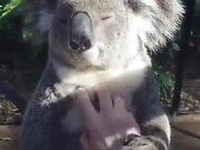 Koala Appreciates A Good Massage