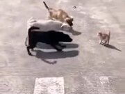 One Angry Cat Vs Three Dogs