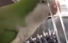 Parrot Very Angry At The Plastic Lid