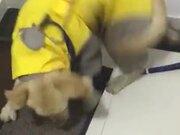 Cute Labrador Having The Zoomies