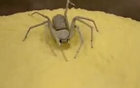 The Infamous Sand Spider In Action