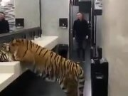 Oh My God, Tiger In A Bathroom!