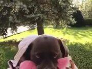 Dog Eats Watermelon While Making A Weird Face