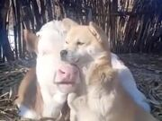 Dog And Cow Are Buddies