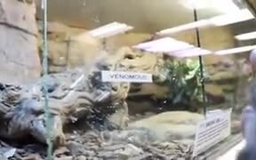 Venomous Lizard Eats Some Banana