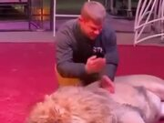 Manhandling A Huge Lion