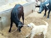 Dog Helps Calf Get Untied