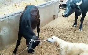 Dog Helps Calf Get Untied