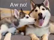Siberian Husky Asks For A Kiss, Doesn't Get One