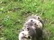 An Opossum And Its Babies!