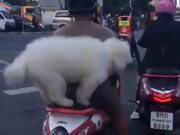 Doggo Riding On A Scooter