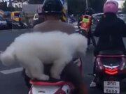 Doggo Riding On A Scooter