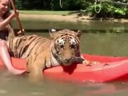 Nothing To Look At, Just A Tiger Out Kayaking