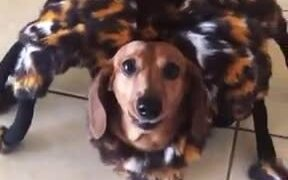 A Cute Doggo With A Spider Costume