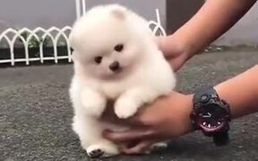 Absolute Floofball Of A Pomeranian Puppy!