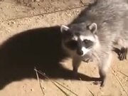 The Raccoons' Covers Have Been Blown!