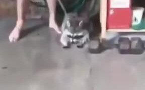 Raccoon Washes It's Face Under A Hose!