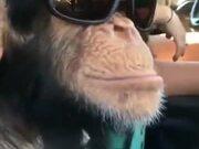 Chimpanzee Is Loving Them Shades!