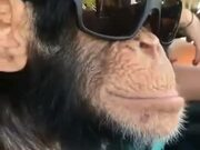 Chimpanzee Is Loving Them Shades!
