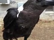 This Crow Can Perfectly Imitate A Human Voice!