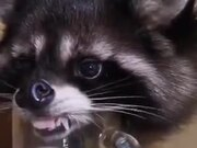 Raccoon Drinking Water
