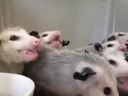 Opossums Eating Bananas