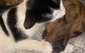 Cat And Pitbull Are The Best Of Friends