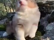 Tiny Pupper's Cute Awoos!