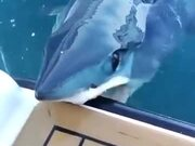 Mako Shark Quietly Nibbles On A Boat!
