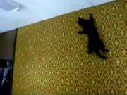 Cat Defies Gravity And Climbs On Wall