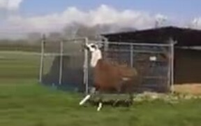 The Happiest Llama You'll Ever See