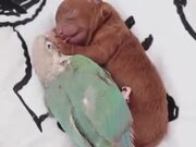 Cute Parrot Cuddles With Newborn Pup