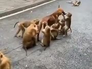 Doggo Gets A Spa Treatment From The Monkeys