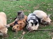 The Four Pigs And The Cat!