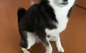 Doggo Happy About Drinking Milk Tap Dances